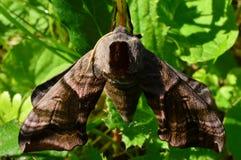 Manhã predadora noturno sarapintado da traça de falcão da borboleta na máscara em férias Fotos de Stock