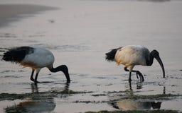 Manhã sobre o oceano Os íbis sagrados E Fotografia de Stock Royalty Free