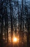 A manhã Sun está brilhando através das árvores altas Imagens de Stock Royalty Free