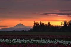 Manhã vermelha sobre tulipas imagens de stock royalty free
