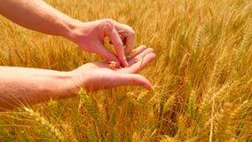 Manhänder i kornfält Korn i räcker Mannen räcker hållande kornkorn Bondekontroll kvaliteten av spikeleten och korn stock video