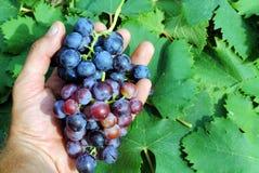 Manhand med röda druvor Royaltyfri Bild
