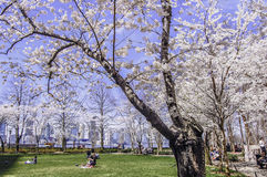 Manhattan Blossom. Cherry Blossom Pumphouse Park in the heart of New York City Stock Photography