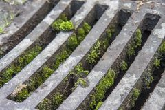 Manhole drain cover with moss. Manhole drain in the city covered with moss Stock Image