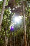 Manière d'eucalyptus Images libres de droits