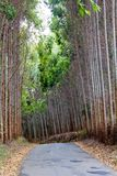 Manière d'eucalyptus Photographie stock libre de droits