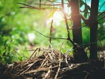 Manière du ` s d'agriculteur d'élever les bambous naturels couverts de paille, mois Image libre de droits