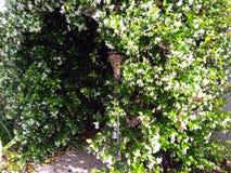 Manière fleurissante blanche de voûte de jasmin Image libre de droits