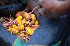 Mani che afferrano le patate da una borsa blu della patata immagini stock libere da diritti