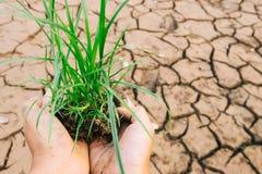 Mani che difendono il germoglio dell'erba verde Immagine Stock