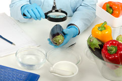 Mani che ispezionano una melanzana nel laboratorio di phytocontrol fotografia stock libera da diritti
