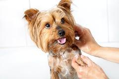 Mani che lavano il cane di Yorkshire. immagini stock libere da diritti