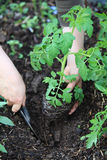 Mani che piantano la pianta di pomodori Immagine Stock Libera da Diritti