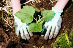 Mani che piantano le piantine di una zucca in suolo Immagine Stock