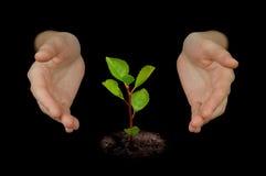 Mani che proteggono giovane albero Immagini Stock
