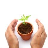 Mani che proteggono la pianta del bambino Fotografia Stock