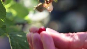 Mani che raccolgono un lampone maturo in un giardino archivi video