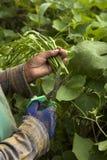 Mani che raccolgono zucchina centenaria Fotografie Stock
