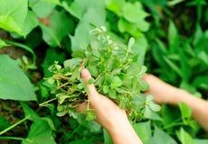 Mani che selezionano erba al giardino fotografia stock libera da diritti