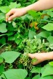 Mani che selezionano erba al giardino fotografie stock