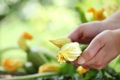 Mani che selezionano i fiori dello zucchini in orto Fotografia Stock
