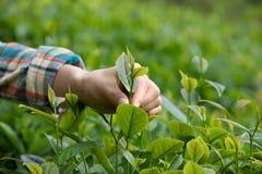 Mani che selezionano le foglie di tè immagine stock