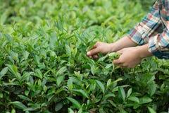 Mani che selezionano le foglie di tè fotografie stock libere da diritti