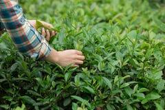 Mani che selezionano le foglie di tè in primavera immagine stock
