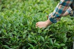 Mani che selezionano le foglie di tè in primavera Fotografie Stock