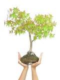 Mani che tengono albero su bianco Immagine Stock