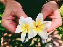Mani che tengono due fiori di plumeria rubra immagini stock libere da diritti