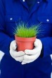 Mani che tengono erba verde conservata in vaso Fotografia Stock