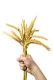 Mani che tengono gruppo delle orecchie dorate del frumento Immagini Stock Libere da Diritti