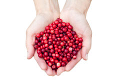 Mani che tengono i lingonberries Fotografie Stock