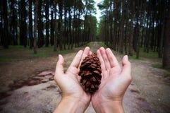 Mani che tengono idea del conservatore di manifestazione del seme del pino Fotografia Stock Libera da Diritti