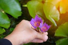Mani che tengono il fiore di loto waterlily contro le foglie immagine stock