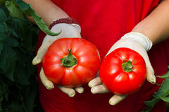 Mani che tengono il raccolto del pomodoro Fotografie Stock Libere da Diritti