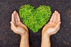 Mani che tengono l'albero a forma di del cuore verde Fotografia Stock