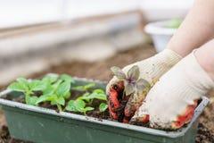 Mani che tengono le belle piante porpora del basilico con terra e le radici Sono pronti per la piantatura nella terra in a Fotografia Stock
