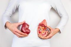 Mani che tengono modello dell'organo umano del rene al corpo immagini stock