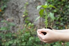 Mani che tengono pianta Fotografie Stock Libere da Diritti