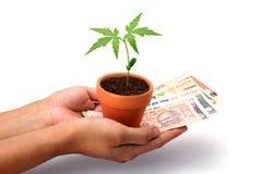 Mani che tengono soldi e la pianta del bambino Immagini Stock