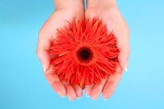 Mani che tengono un gerbera arancione Fotografia Stock