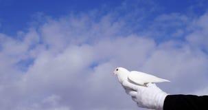 Mani che tengono un volo dell'uccello della colomba contro il cielo stock footage