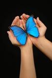 Mani che tengono una farfalla blu Fotografia Stock