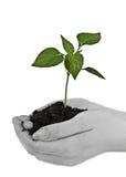 Mani che tengono una pianta immagini stock