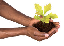 Mani che tengono una piccola pianta Immagini Stock