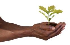 Mani che tengono una piccola pianta Immagine Stock