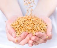 Mani con i granuli del frumento Fotografie Stock Libere da Diritti