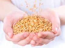 Mani con i granuli del frumento Immagini Stock Libere da Diritti